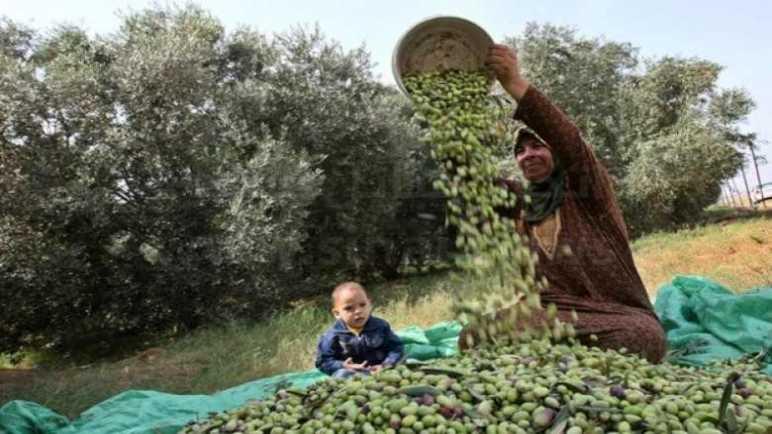 عطاء وانتماء.. الزيتون المعمر يغطي نفقات الأسرة في سيناء
